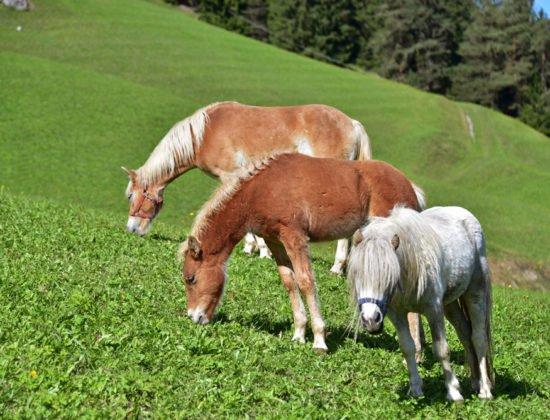tiere-pferde-03